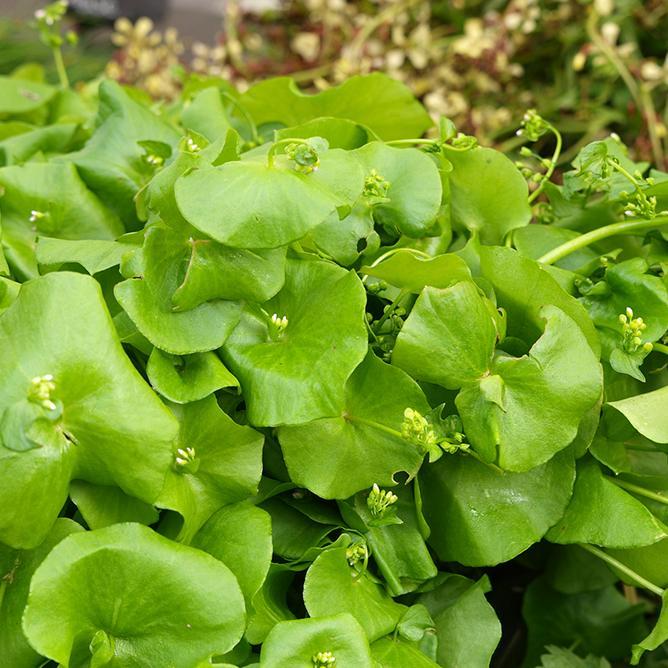 https://cf.ltkcdn.net/garden/images/slide/200051-668x668-Miner%27s-Lettuce.jpg