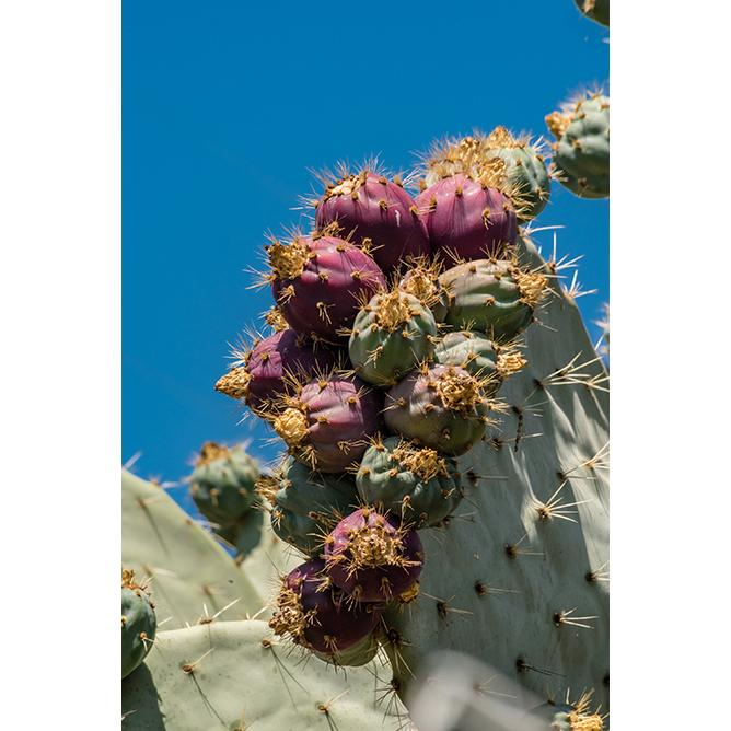 https://cf.ltkcdn.net/garden/images/slide/200053-668x668-Prickly-Pear-Cactus-Fruit.jpg