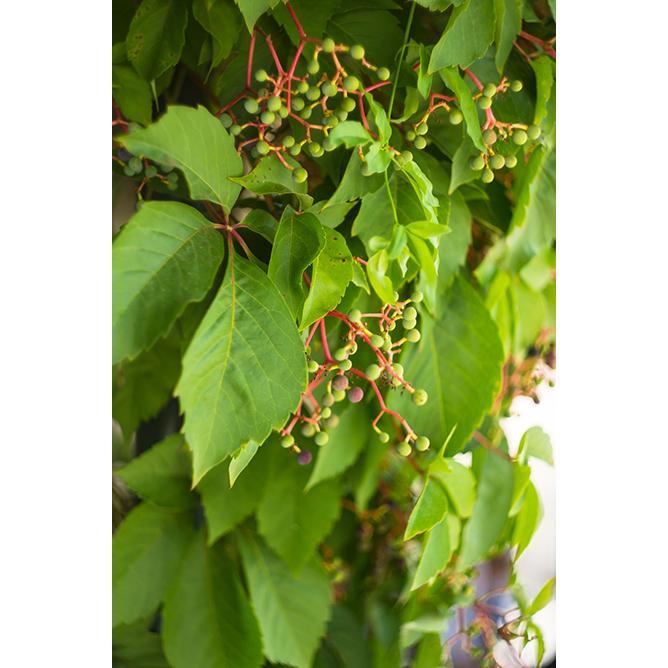 https://cf.ltkcdn.net/garden/images/slide/200054-668x668-Wild-grape.jpg