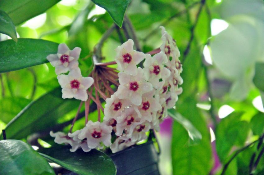 https://cf.ltkcdn.net/garden/images/slide/220094-850x564-waxplant.jpg