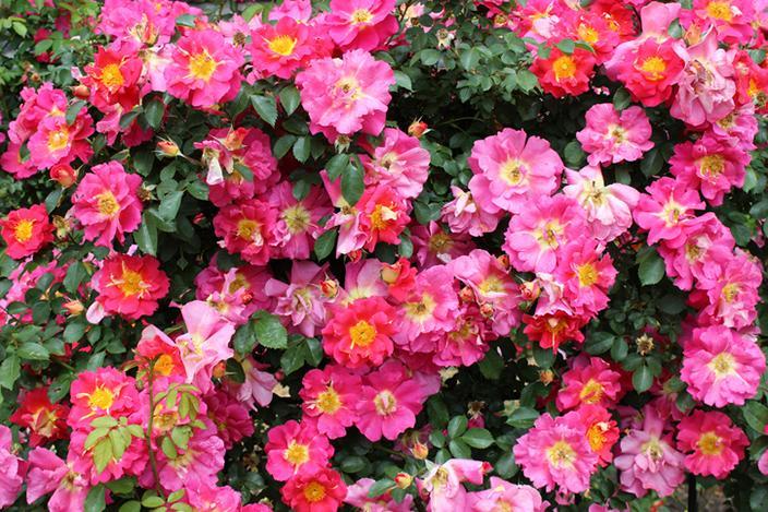 https://cf.ltkcdn.net/garden/images/slide/221321-704x469-Bajazzo.jpg