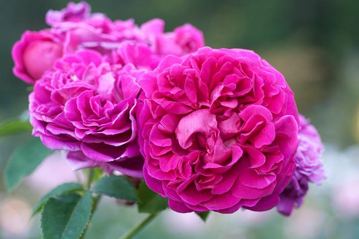 https://cf.ltkcdn.net/garden/images/slide/221330-704x469-Lady-of-Megginch.jpg