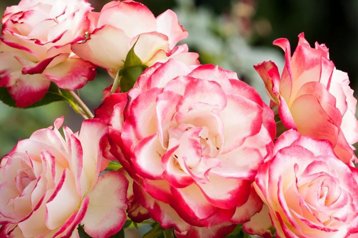 https://cf.ltkcdn.net/garden/images/slide/221331-704x469-Double-Delight.jpg