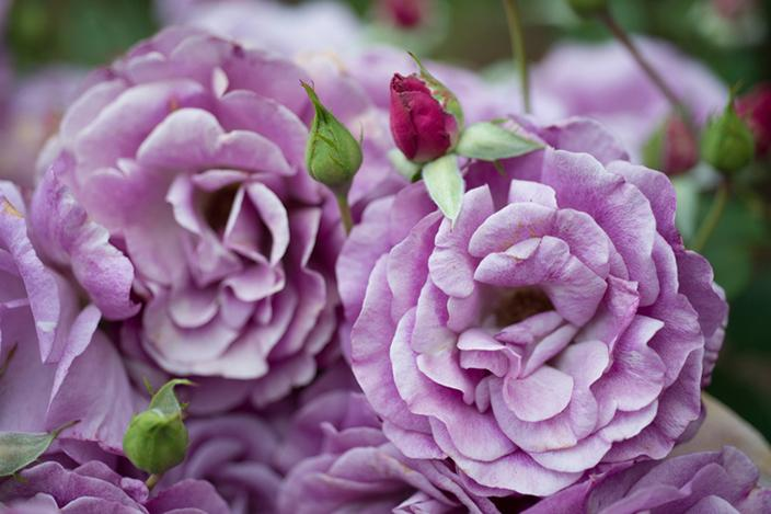 https://cf.ltkcdn.net/garden/images/slide/221332-704x469-Melody-Parfumee.jpg