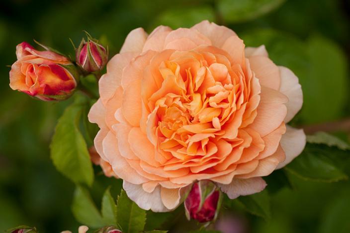 https://cf.ltkcdn.net/garden/images/slide/221335-704x469-Crown-Princess-Margareta.jpg