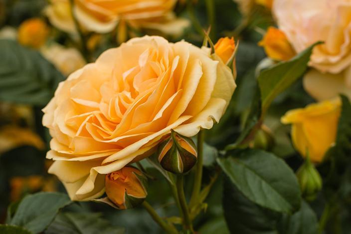 https://cf.ltkcdn.net/garden/images/slide/221338-704x469-Amber-Queen.jpg
