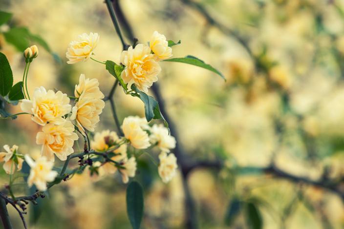 https://cf.ltkcdn.net/garden/images/slide/221339-704x469-Yellow-Lady-Banks.jpg