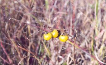 Solanum-1.jpg