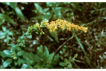 Solanum-3.jpg