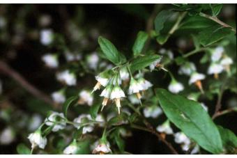 Vaccinium stamineum L. - deerberry
