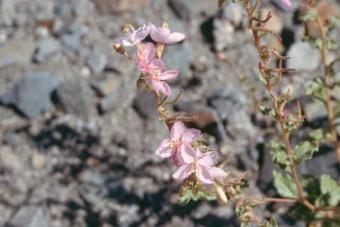 Camissonia boothii (Dougl. ex Lehm.) Raven - Booth's evening-primrose