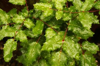 wet holly leaves
