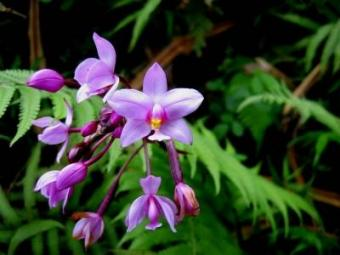 a wild orchid in Hawaii