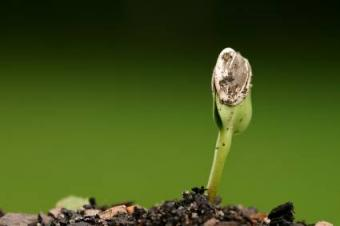 seedling with shell attached
