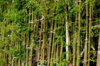 Small Bamboo Transplant