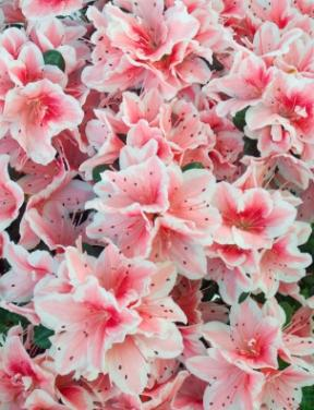 There are over 450 varieties of azalea.