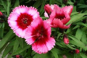 wildflower pinks