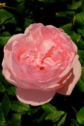 Antique_tea_rose.jpg