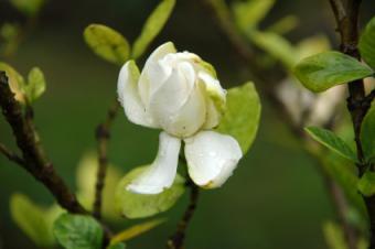 Fertilizer for Gardenias