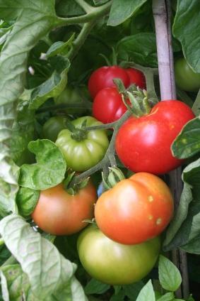 Grow Tomatoes Upside Down
