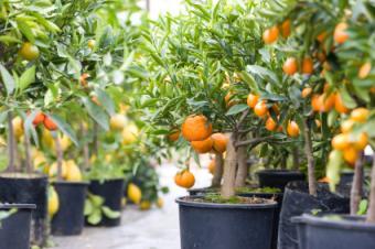 Dwarf citrus tress