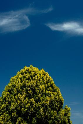 Leyland cypress provides fast screening