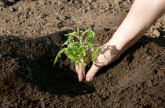 Planting tomatoes requires the right soil.