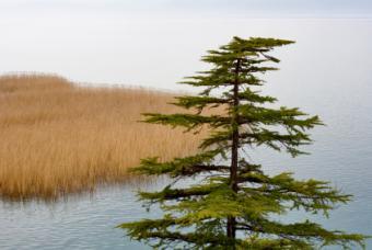 Pine Tree Disease