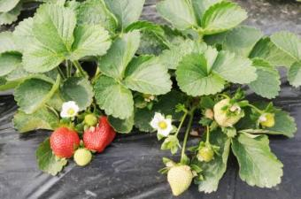 When Is it Too Late to Plant Strawberries?