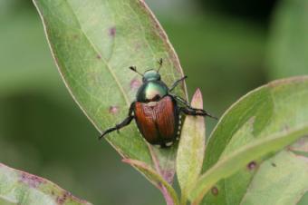 Mechanical Japanese Beetle Traps