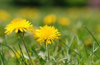 dandelion in the lawn