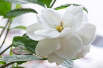 Gardenia Indoor Care