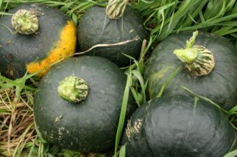 When to Harvest Winter Squash