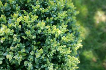 https://cf.ltkcdn.net/garden/images/slide/112016-425x282-Boxwoodhedge.jpg