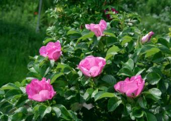 https://cf.ltkcdn.net/garden/images/slide/112056-413x291-Rosa-Rugosa.jpg