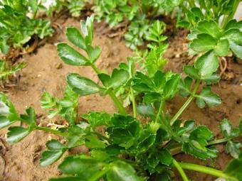 https://cf.ltkcdn.net/garden/images/slide/112064-800x600-Celery-in-Silt-Soil.jpg
