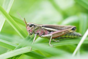 https://cf.ltkcdn.net/garden/images/slide/112070-693x461-Grasshopper.jpg