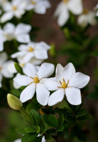 Gardenia birghamii