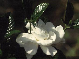 Aimee Yashioka Gardenia