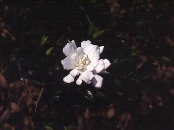 Gardenia foruneiana