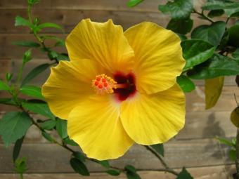 https://cf.ltkcdn.net/garden/images/slide/112169-800x600-hibiscus.jpg