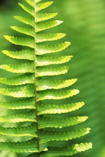 https://cf.ltkcdn.net/garden/images/slide/112171-567x847-verdure-fern.jpg