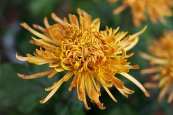 https://cf.ltkcdn.net/garden/images/slide/112178-849x565-Chrysanthemum.jpg