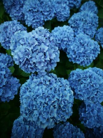 https://cf.ltkcdn.net/garden/images/slide/112181-600x800-hydrangea2.jpg
