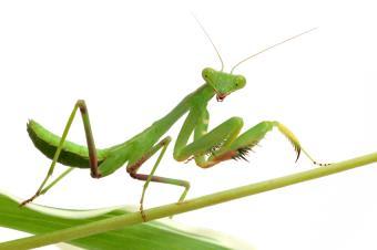 https://cf.ltkcdn.net/garden/images/slide/112188-850x565-Mantis.jpg