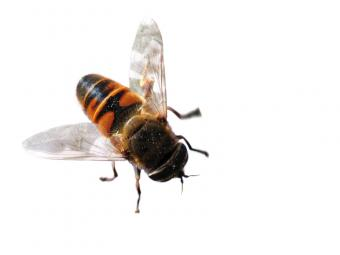 https://cf.ltkcdn.net/garden/images/slide/112193-800x600-Syrphid-Fly.jpg