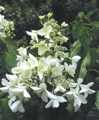 https://cf.ltkcdn.net/garden/images/slide/112213-465x565-hydrangea_paniculata.jpg