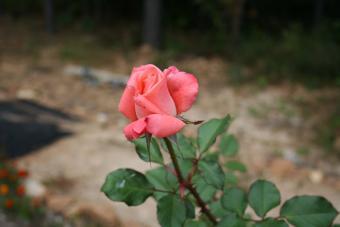 https://cf.ltkcdn.net/garden/images/slide/112222-840x560-roseLTK.jpg