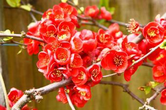 https://cf.ltkcdn.net/garden/images/slide/112231-849x565-Flowering-Quince.jpg