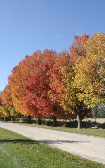 Sugar Maple Tree Picture